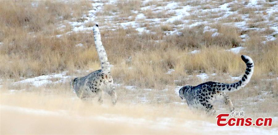 Two snow leopards have been captured recently by camera at an altitude of 3,500 meters in Qilian Mountain, Zhangye, Gansu Province. Snow Leopard is a first-class protected wild animal in China. There are about about 2,000 - 3,000 snow leopards living in China, accounting for 40% of the world\'s total. (Photo: China News Service/Zhang Yulin)