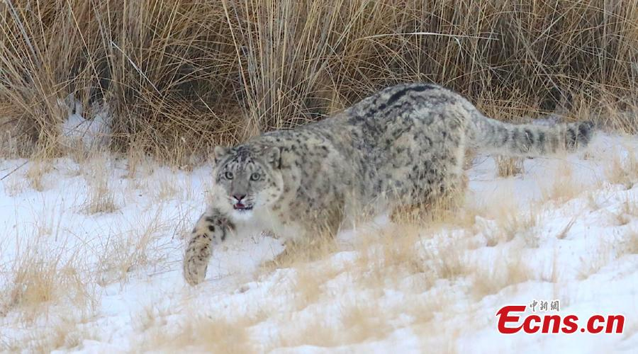 A snow leopard has been captured recently by camera at an altitude of 3,500 meters in Qilian Mountain, Zhangye, Gansu Province. Snow Leopard is a first-class protected wild animal in China. There are about about 2,000 - 3,000 snow leopards living in China, accounting for 40% of the world\'s total. (Photo: China News Service/Zhang Yulin)