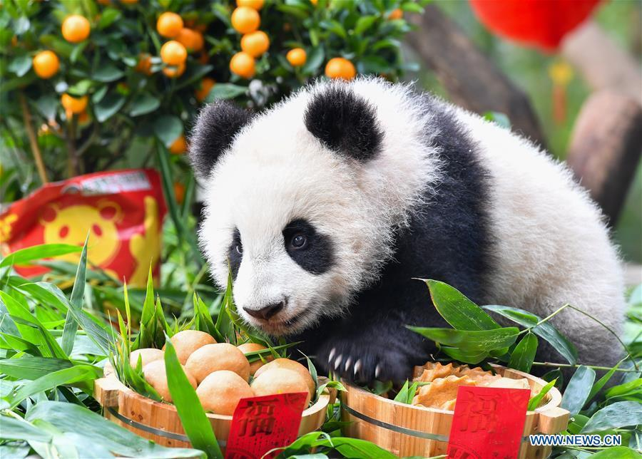 Giant panda cub Long Zai enjoys a special meal at the Chimelong Safari Park in Guangzhou, capital of south China\'s Guangdong Province, Jan. 29, 2019. The two cubs, born in July of 2018, enjoyed a special New Year treat at the park ahead of the Spring Festival, which falls on Feb. 5 this year. (Xinhua/Liu Dawei)