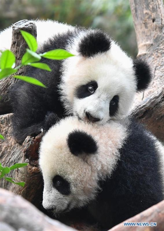 Giant panda cubs Long Zai and Ting Zai play at the Chimelong Safari Park in Guangzhou, capital of south China\'s Guangdong Province, Jan. 29, 2019. The two cubs, born in July of 2018, enjoyed a special New Year treat at the park ahead of the Spring Festival, which falls on Feb. 5 this year. (Xinhua/Liu Dawei)