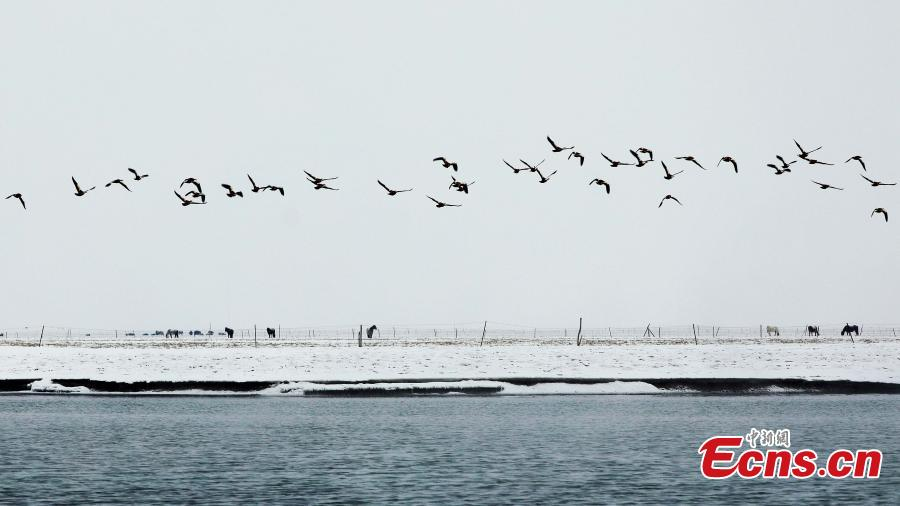 Migratory birds in Qinghai Lake, the largest saltwater lake in China's inland, in late January 2019. The lake plays an important role in the protection of biodiversity globally. It is a key breeding habitat and stopover for many waterfowls on the migratory route. (Photo: China News Service/Ma Yirui)
