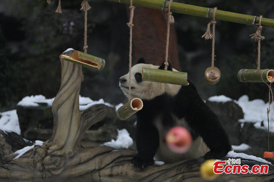 Giant pandas play in artificial snow in an enclosure at the Chengdu Research Base of Giant Panda Breeding in Chengdu City, Sichuan Province, Jan. 31, 2019, as part of celebrations for Spring Festival, China's Lunar New Year, which falls on February 5 this year. (Photo: China News Service/Cui Kai)