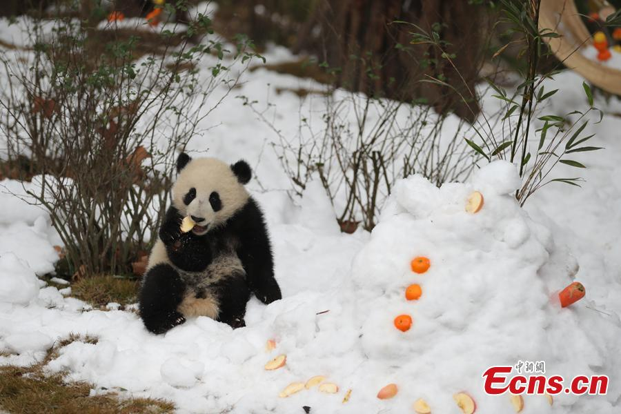 Giant panda Aimi plays in artificial snow in an enclosure at the Chengdu Research Base of Giant Panda Breeding in Chengdu City, Sichuan Province, Jan. 31, 2019, as part of celebrations for Spring Festival, China's Lunar New Year, which falls on February 