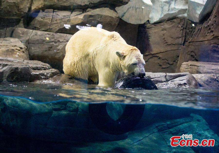 Polar bear Menglong plays at an aquarium in Haichang Polar Ocean World in Wuhan City, Central China\'s Hubei Province, Jan. 31, 2019. As part of Spring Festival celebrations, Menglong will perform with a female polar bear named Jingjing. The pair are expected to become mating partners, according to the park. (Photo: China News Service/Zhang Chang)