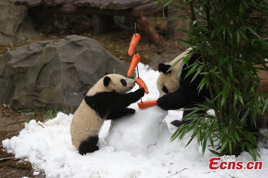 Giant pandas play in artificial snow in an enclosure at the Chengdu Research Base of Giant Panda Breeding in Chengdu City, Sichuan Province, Jan. 31, 2019, as part of celebrations for Spring Festival, China's Lunar New Year, which falls on February 