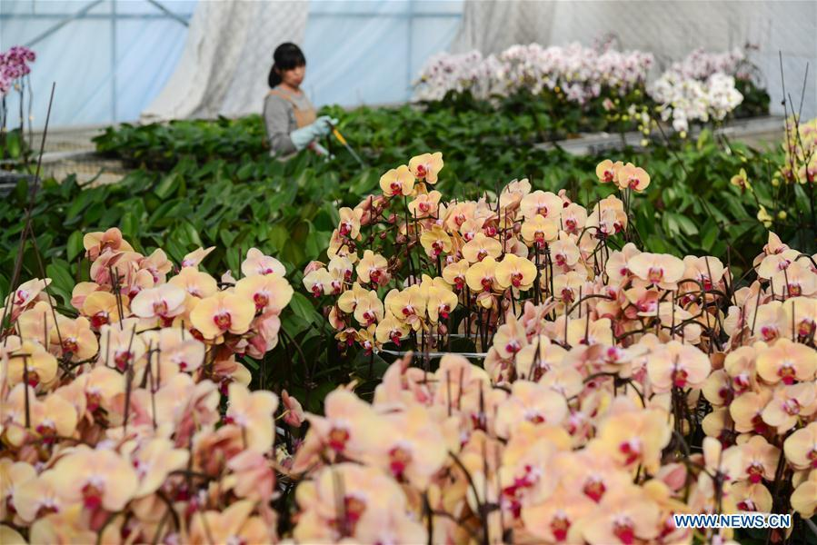 A villager takes care of flowers at a greenhouse in Xindian Village of Luojiatun Township in Qianxi County, north China\'s Hebei Province, Jan. 31, 2019. Flower suppliers in Qianxi County have prepared plenty of flowers to meet customers\' demand as the Spring Festival approaches. The Spring Festival, or the Chinese Lunar New Year, falls on Feb. 5 this year. (Xinhua/Li Shaohua)