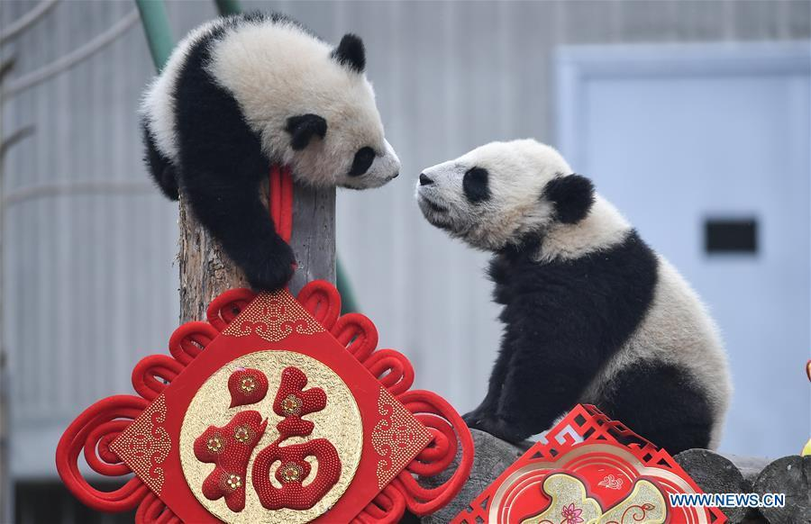 Photo taken on Jan. 31, 2019 shows two giant panda cubs at the Shenshuping base of China Conservation and Research Center for Giant Pandas in Wolong, southwest China\'s Sichuan Province. Giant pandas born here in 2018 made a group appearance on Thursday to greet the upcoming Spring Festival, which falls on Feb. 5 this year. (Xinhua/Xue Yubin)