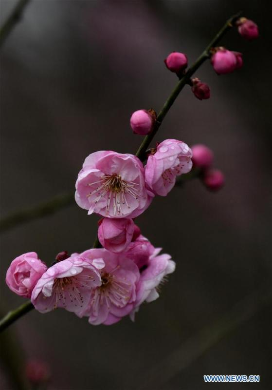 Photo taken on Jan. 31, 2019 shows plum flowers at Aishan Village of Gaoluo Township in Xuanen County of Enshi Tujia and Miao Autonomous Prefecture, central China\'s Hubei Province. (Xinhua/Song Wen)