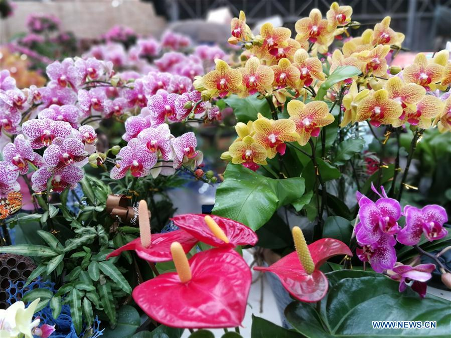 Photo taken on Jan. 31, 2019 shows flowers at a flower market in Shijiazhuang, capital of north China\'s Hebei Province. People in Shijiazhuang are busy buying flowers to decorate their home as a way to greet the upcoming Spring Festival, which falls on Feb. 5 this year. (Xinhua/Wang Baolong)