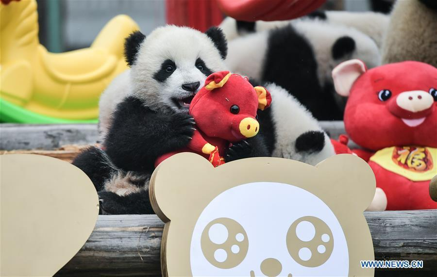 Photo taken on Jan. 31, 2019 shows giant panda cubs at the Shenshuping base of China Conservation and Research Center for Giant Pandas in Wolong, southwest China\'s Sichuan Province. Giant pandas born here in 2018 made a group appearance on Thursday to greet the upcoming Spring Festival, which falls on Feb. 5 this year. (Xinhua/Xue Yubin)