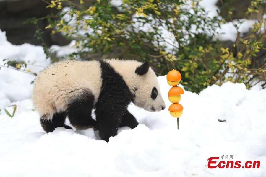 Giant panda Aimi plays in artificial snow in an enclosure at the Chengdu Research Base of Giant Panda Breeding in Chengdu City, Sichuan Province, Jan. 31, 2019, as part of celebrations for Spring Festival, China's Lunar New Year, which falls on February 5 this year. (Photo: China News Service/Cui Kai)