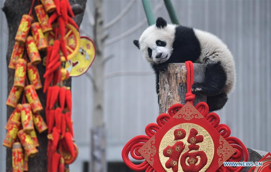 Photo taken on Jan. 31, 2019 shows a giant panda cub at the Shenshuping base of China Conservation and Research Center for Giant Pandas in Wolong, southwest China\'s Sichuan Province. Giant pandas born here in 2018 made a group appearance on Thursday to greet the upcoming Spring Festival, which falls on Feb. 5 this year. (Xinhua/Xue Yubin)