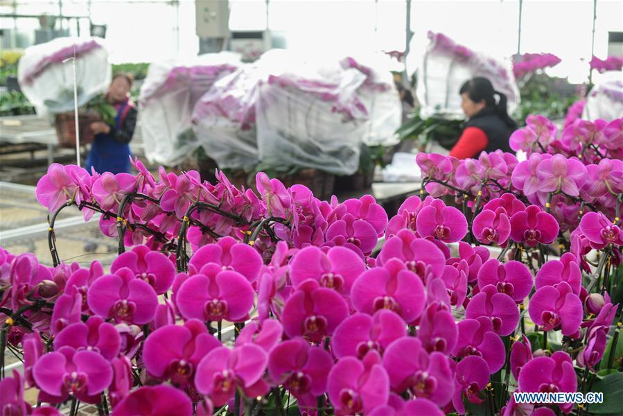 Villagers load flowers on a cart for sale at a greenhouse in Xindian Village of Luojiatun Township in Qianxi County, north China\'s Hebei Province, Jan. 31, 2019. Flower suppliers in Qianxi County have prepared plenty of flowers to meet customers\' demand as the Spring Festival approaches. The Spring Festival, or the Chinese Lunar New Year, falls on Feb. 5 this year. (Xinhua/Li Shaohua)