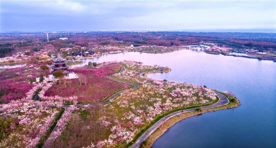 A bird\'s eye view of the plum garden, covering 1.3 square kilometers, in the Gulf Forest Park in Fengxian District,Shanghai.(Photo: Ti Gong/SHINE)