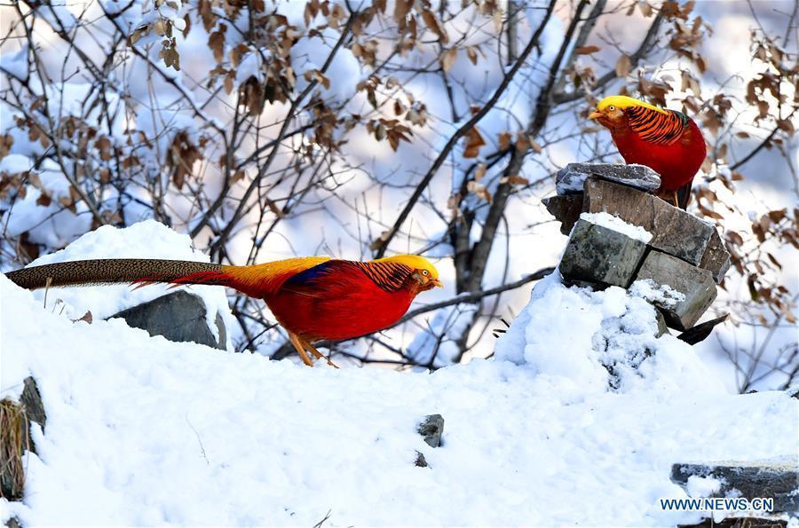 Golden pheasants are seen in the snow near Huiduishi Village of Lushi County, central China\'s Henan Province, Feb. 1, 2019. (Xinhua/Li Jianan)
