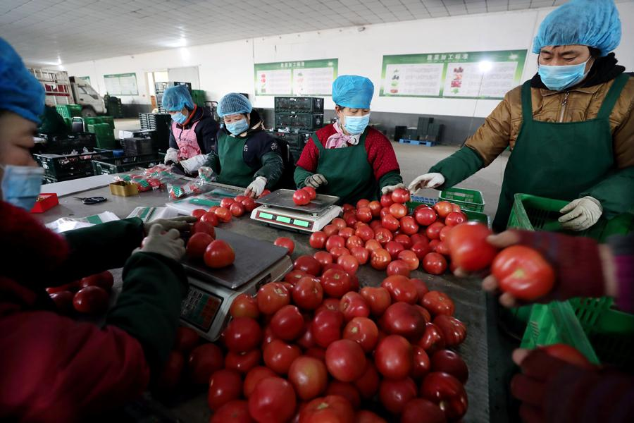 Workers sort and package tomatoes. (Photo by WANG JING/CHINA DAILY)