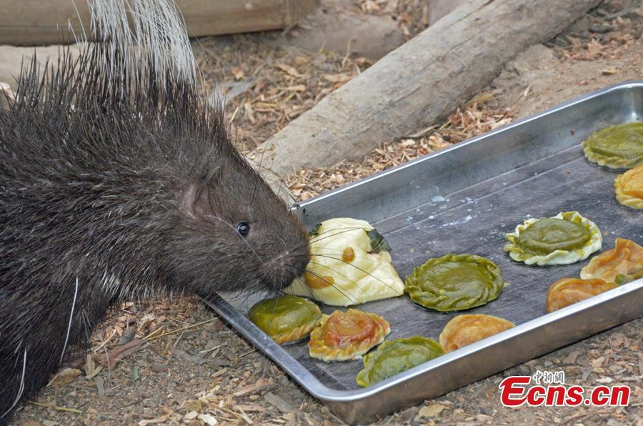 An animal enjoy dumplings at the Tianjin Zoo, Feb. 2, 2019. Nutritionists have prepared dumplings with different filling for the animals in the zoo.(Photo: China News Service/Tong Yu)