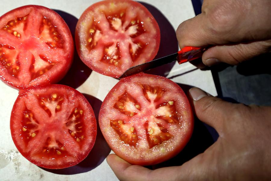 Tomatoes are being examined to check on seed health. (Photo by WANG JING/CHINA DAILY)