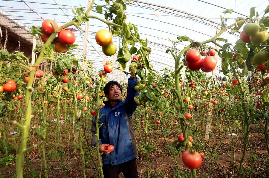 Zhang Jiaqiang, a farmer in Linzi, Shandong province, is picking tomatoes. (Photo by WANG JING/CHINA DAILY)