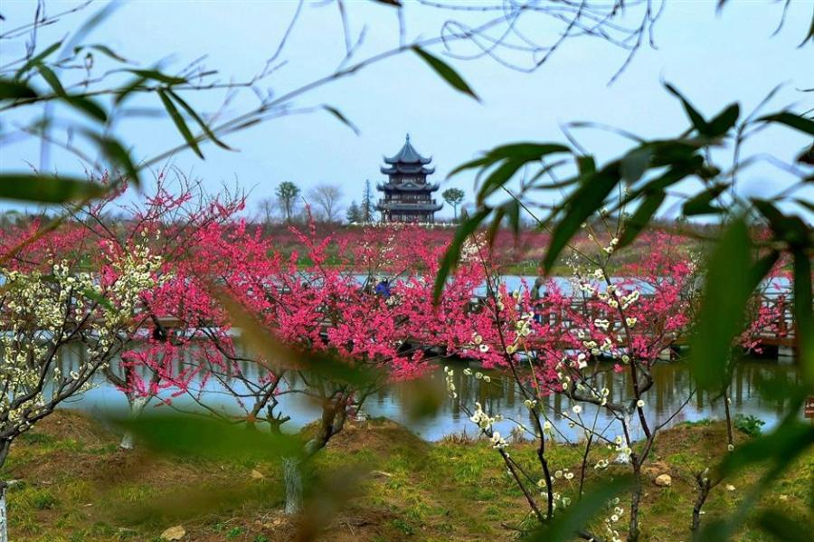 Some early plum flowers bloom in the Gulf Forest Park in Fengxian over the weekend. (Photo: Ti Gong/SHINE)