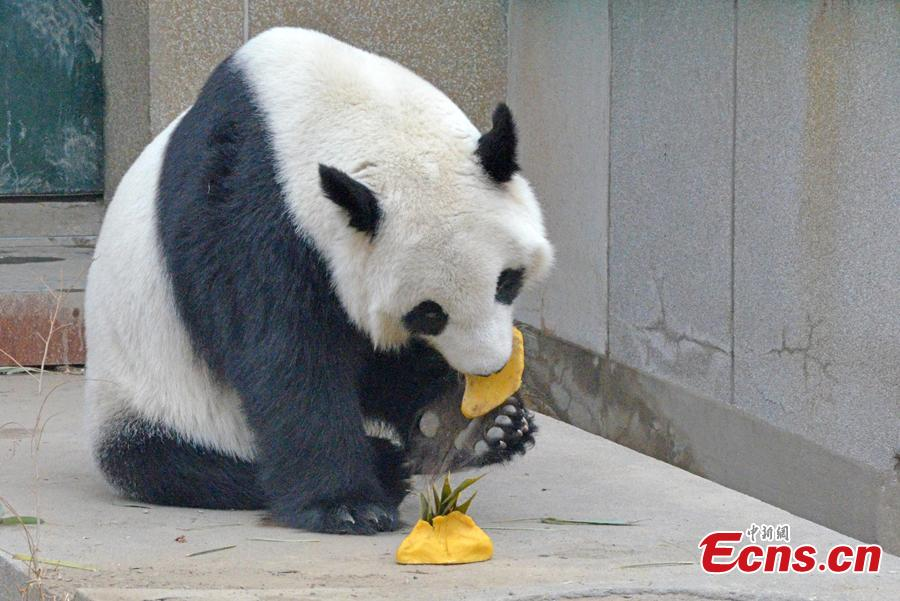 A panda at the Tianjin Zoo enjoys dumplings, Feb. 2, 2019. Nutritionists have prepared dumplings with different filling for the animals in the zoo.(Photo: China News Service/Tong Yu)