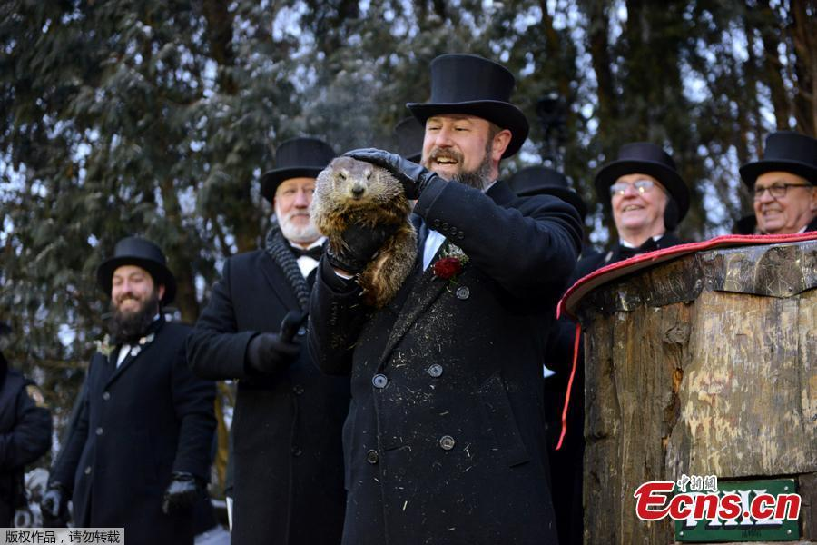 Punxsutawney Phil is introduced to the crowd on the 133rd Groundhog Day in Punxsutawney, Pennsylvania, U.S., February 2, 2019. Around 7:30 a.m. on Saturday, Punxsutawney Phil emerged from his slumber and didn't see his shadow, meaning an early spring is apparently on the horizon. According to the Punxsutawney Groundhog Club, the iconic creature's predictions are only 39 percent accurate.(Photo/Agencies)