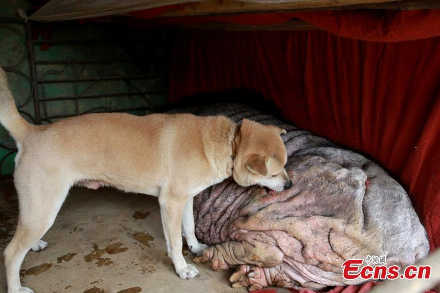"A 6-year-old dog and a blind 23-year-old pig play at a village in Changtang Town of Liuzhou City, South China's Guangxi Zhuang Autonomous Region, Feb. 2, 2019. The owner Huang Shan said he purchased the pig on Feb. 28, 1996. Known locally as the ""pig queen"", it gave birth to over 500 piglets by August 2014. The dog used to drink the pig's milk, and the two animals often play together. (Photo: China News Service/Zhu Liurong)"