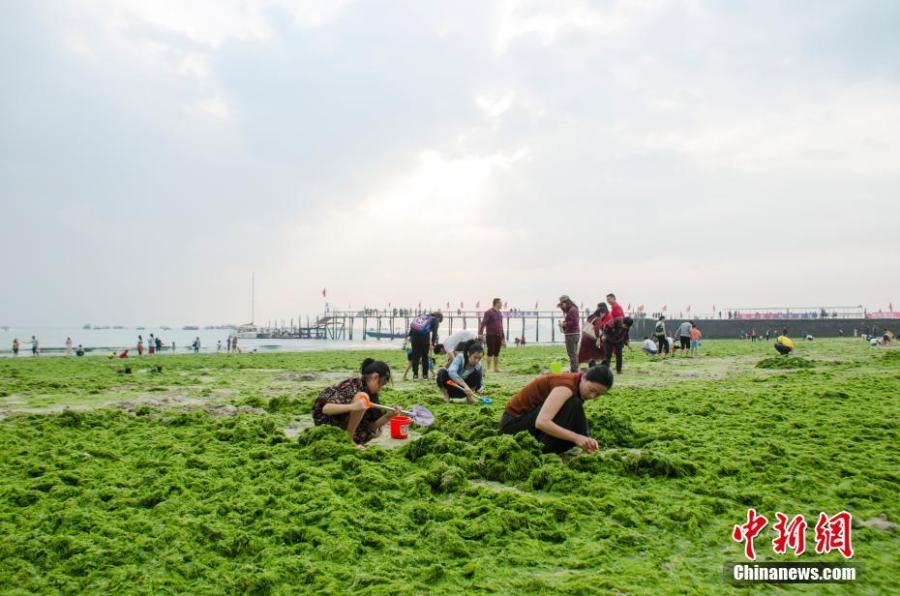 Massive algae blooms on a beach at a tourist attraction in Beihai City, South China\'s Guangxi Zhuang Autonomous Region, Feb. 10, 2019. (Photo: China News Service/Zhai Liqiang)
