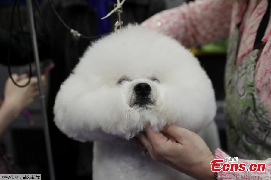 Donald, a Bichon Frise breed, is groomed during the 143rd Westminster Kennel Club Dog Show in New York, U.S., Feb. 11, 2019. (Photo/Agencies)