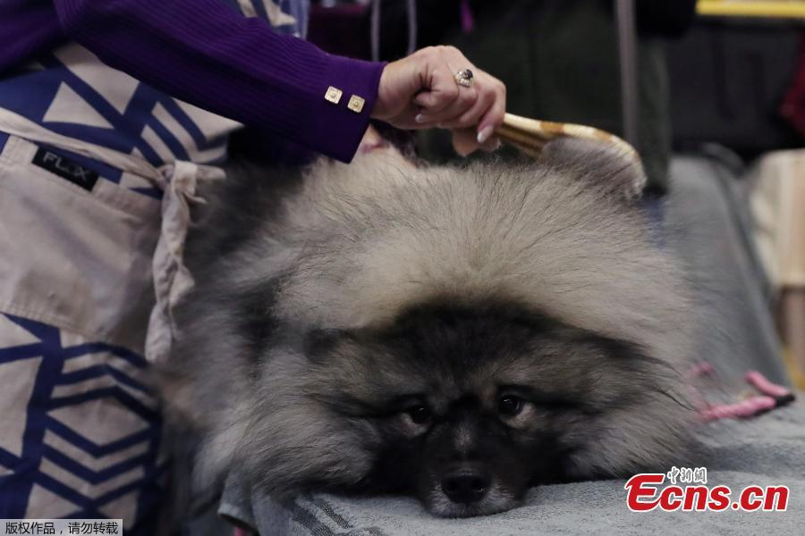 Couvee, a Keeshond breed, is groomed during the 143rd Westminster Kennel Club Dog Show in New York, U.S., Feb. 11, 2019. (Photo/Agencies)