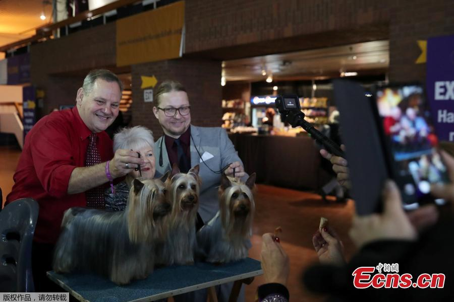 Yorkshire Terrier breeds have their pictures taken during the 143rd Westminster Kennel Club Dog Show in New York, U.S., Feb. 11, 2019. (Photo/Agencies)