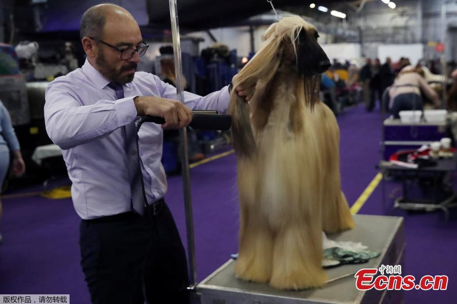 Anwar Ebn Benazir Von Haussman, an Afghan Hound breed, sits during the 143rd Westminster Kennel Club Dog Show in New York, U.S., Feb. 11, 2019. (Photo/Agencies)
