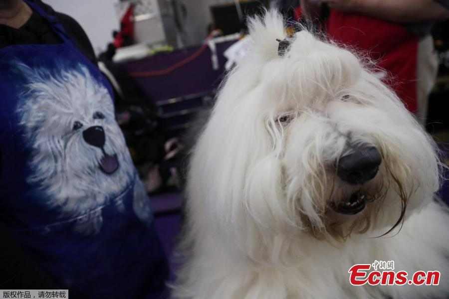 Junior, an Old English Sheepdog breed, sits during the 143rd Westminster Kennel Club Dog Show in New York, U.S., Feb. 11, 2019. (Photo/Agencies)