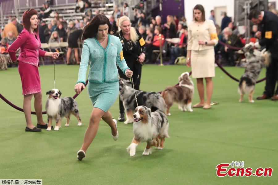 A handler runs with a Miniature Australian Shepherd breed, during judging of the 143rd Westminster Kennel Club Dog Show in New York, U.S., Feb. 11, 2019. (Photo/Agencies)