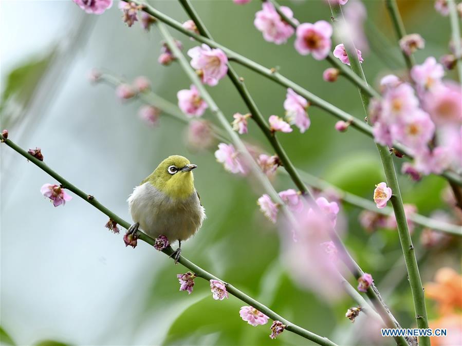 A white-eye searches for nectar from plum blossoms in Fuzhou, southeast China\'s Fujian Province, Feb. 12, 2019. (Xinhua/Jiang Kehong)
