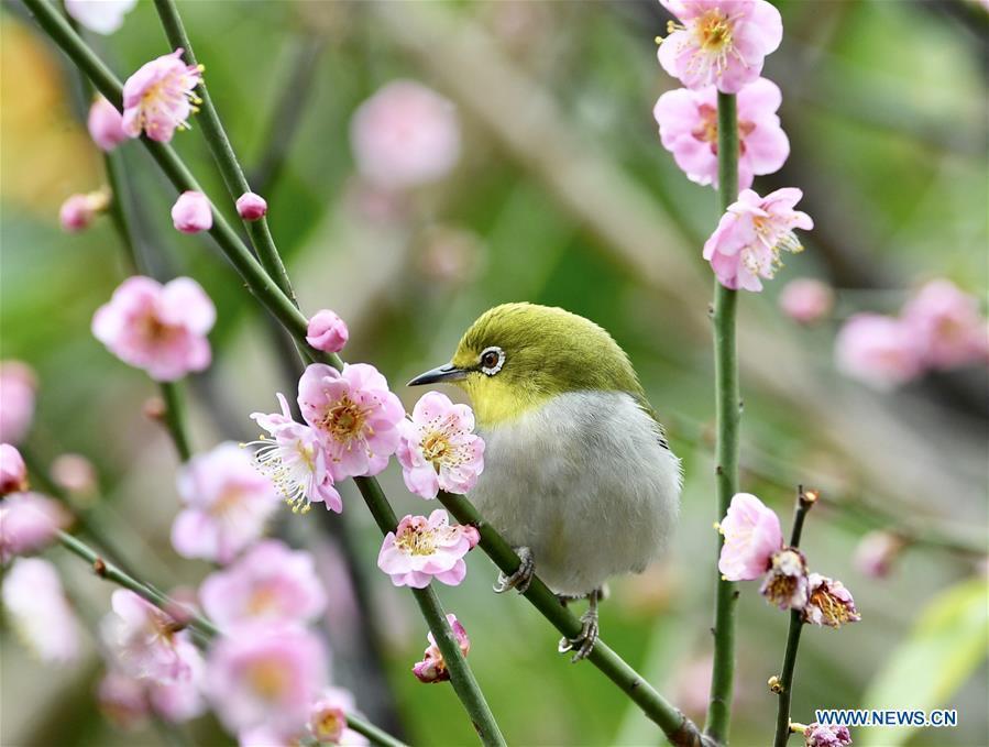 A white-eye feeds on nectar from plum blossoms in Fuzhou, southeast China\'s Fujian Province, Feb. 12, 2019. (Xinhua/Jiang Kehong)
