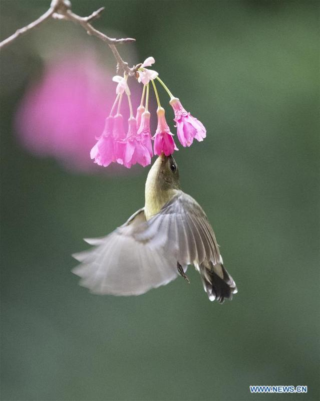 A fork-tailed sunbird gathers honey from a flower in Fuzhou, capital of southeast China\'s Fujian Province, Feb. 12, 2019. (Xinhua/Mei Yongcun)