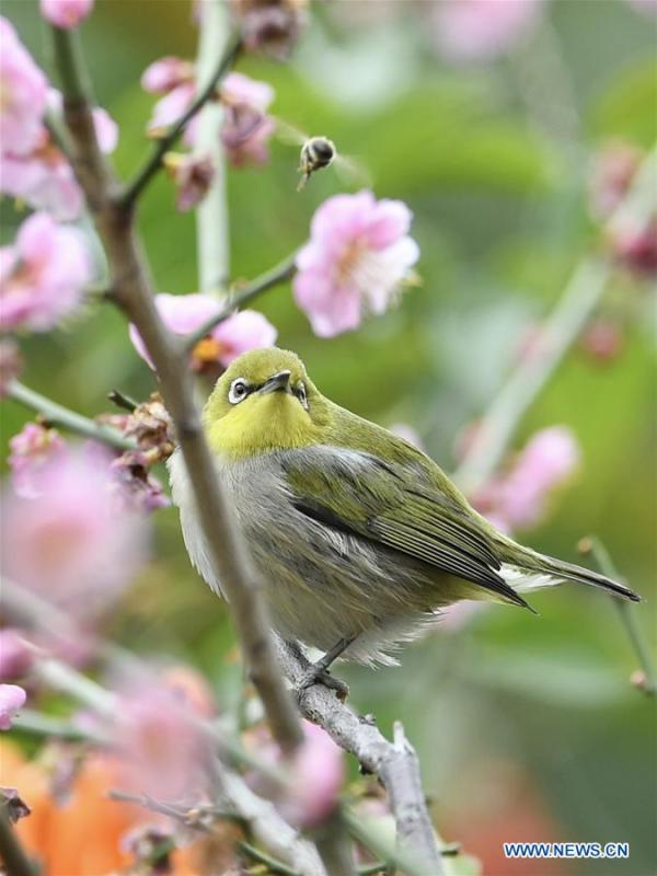 A white-eye searches for nectar from plum blossoms in Fuzhou, southeast China\'s Fujian Province, Feb. 12, 2019. (Xinhua/Jiang Kehong)