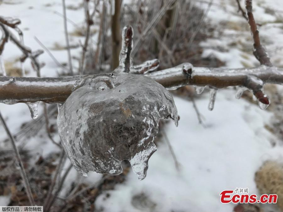 An apple-shaped ice casing created in an orchard following an ice storm is pictured in Sparta, Michigan, U.S., February 6, 2019. (Photo/Agencies)