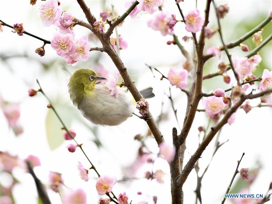A white-eye feeds on nectar from plum blossoms in Fuzhou, southeast China\'s Fujian Province, Feb. 12, 2019. (Xinhua/Jiang Kehong)