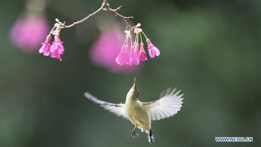 A fork-tailed sunbird tries to gather honey from a flower in Fuzhou, capital of southeast China\'s Fujian Province, Feb. 12, 2019. (Xinhua/Mei Yongcun)