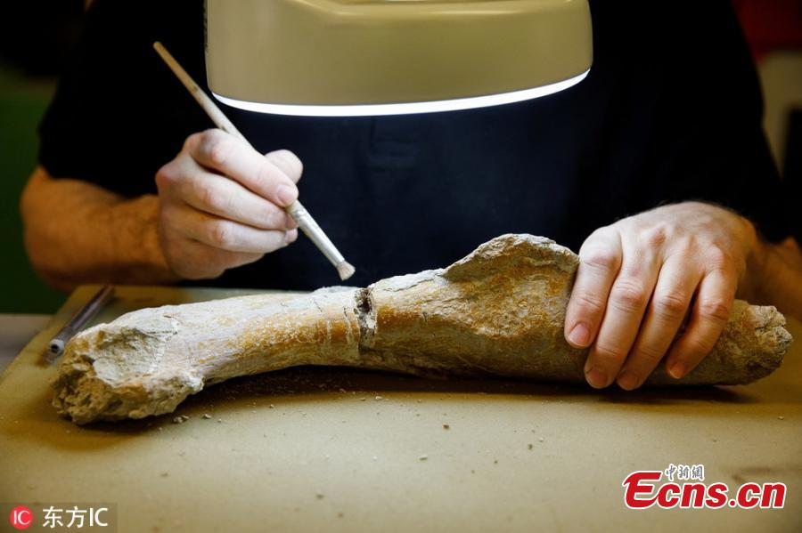 A paleontologist works on the 210-million-year old fossils of a Plateosaurus at the Natural History Museum in Vienna, Austria. The dinosaur skeleton is a permanent loan from the Dinosaur Museum Frick in Switzerland and is restored and put together by the Natural History Museum in Vienna, where the Plateosaurus will be displayed later this year. (Photo/IC)