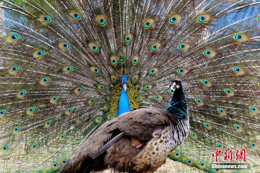 Two peacocks are seen at the Locajoy Wildlife Park in Chongqing, Feb. 14, 2019. (Photo: China News Service/Wang Chengjie)