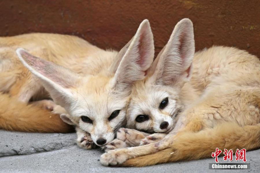 Two fennec foxes are seen at the Locajoy Wildlife Park in Chongqing, Feb. 14, 2019. (Photo: China News Service/Wang Chengjie)