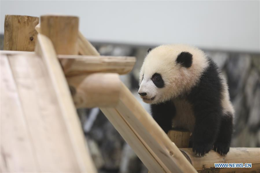 Giant pandas greet audience in Shirahama, Japan - Headlines