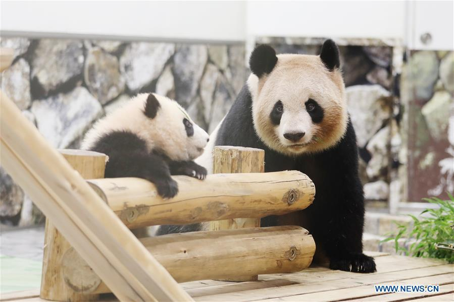 Giant panda Saihin greets the audience with her mother at the Adventure World in Shirahama, Wakayama, Japan, Feb. 14, 2019. Born on August 14, 2018, Saihin is 90 centimeters in length and weighs 9.86 kilograms now. (Xinhua/Du Xiaoyi)
