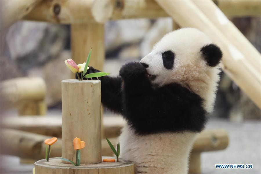 Giant panda Saihin eats the sliced apple and carrot on her \