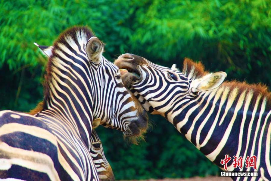 Two zebras are seen at the Locajoy Wildlife Park in Chongqing, Feb. 14, 2019. (Photo: China News Service/Wang Chengjie)