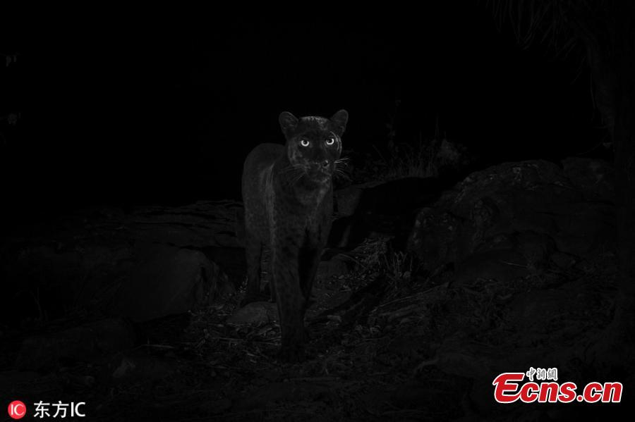 An ultra-rare black leopard walks through Laikipia Wilderness Camp in central Kenya in 2018. Published in January in the African Journal of Ecology, these photos represent the first scientific documentation of such a creature in Africa in nearly a century. As recently as 2017, only a single sighting had been confirmed—a 1909 photograph taken in Addis Ababa, Ethiopia. (Photo/IC)