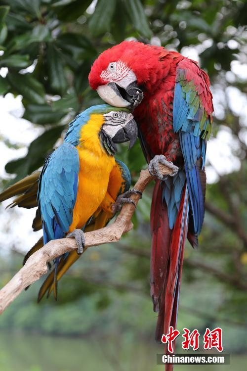 Two scarlet macaws are seen at the Locajoy Wildlife Park in Chongqing, Feb. 14, 2019. (Photo: China News Service/Wang Chengjie)